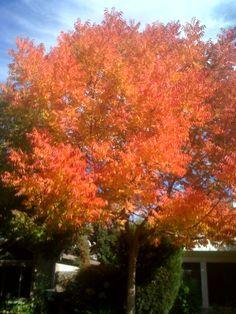 I am really enjoying the gorgeous tree colors in Sacramento!