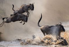 Making a splash: Wildebeest leap into the waters of the Mara River during their migration over the border between Tanzania and Kenya