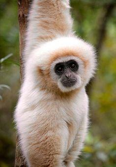 Gibbon Cheeky Gibbon - Camille