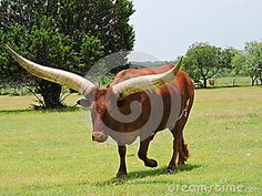 This huge brown and white Texas Longhorn looking menacing at the people observing it.