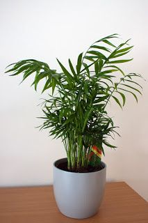 "Chamaedorea elegans ""Parlor palm"" HP"