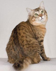 American Bobtail Cat #catbreed