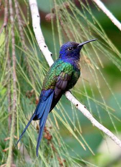 Beija-flor-tesoura - Swallow-tailed Hummingbird (Eupetomena macroura) | Flickr…