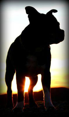 Staffershire Bull Terrieren Stitch