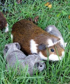 All Things Guinea Pig