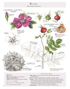 Rosa rugosa // edible flowers and enormous rosehips! // from Dina Falconi's Foraging and Feasting: A Field Guide and Wild Food Cookbook