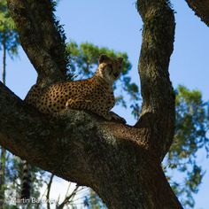 cheetah+in+a+tree | Cheetah in the tree | Flickr - Photo Sharing!