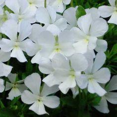 Gärtnerei Naturwuchs -- T - Z -- Viola cornuta 'Alba' -- Hornveilchen, Sorte
