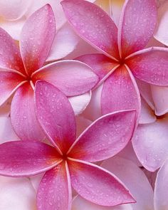 Frangipani - perfect in pink.