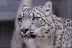 ヒョウはヒョウでも白いヒョウ、ユキヒョウ。 - NAVER まとめ