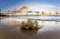 Clam Shell Dawn