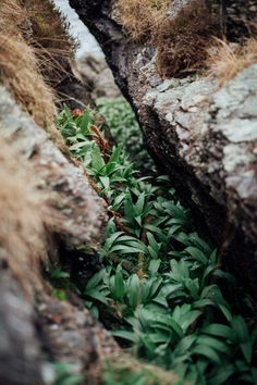 Wild Garlic, or ramps, at the coast in Norway by food photographer Gunvor Eline Eng Jakobsen