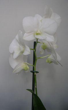 Exposición de orquídeas en el Jardín Botánico | Escaparate Valenciano