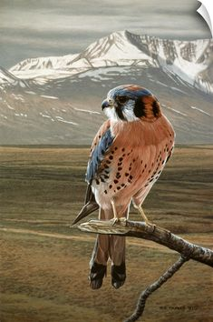 Ron Parker Solid-Faced Canvas Print Wall Art Print entitled American Kestrel, None Canvas Wall Art, Wall Art Prints, Framed Prints, Canvas Prints, American Kestrel, Mourning Dove, Artist Canvas, Bald Eagle, Illustration Art