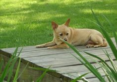 Lupe' is an adoptable Chihuahua Dog in Dayton, OH. Hello my name is Guadalupe, but Foster Mom just calls me Lupe and I come when she calls me. Foster Mom does not know any of my history, including how...