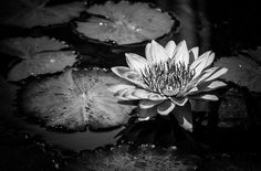 Photograph Water Lily by Shannon Kunkle on 500px