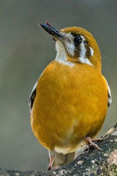Orange-headed Thrush, Bangalore. By Shishir Saksena