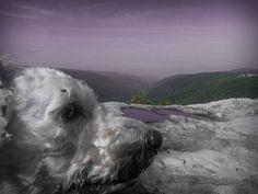 Bichon on a Mountain Top 8x10 Photograph