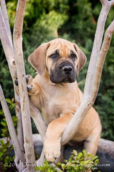 The Boerboel, also known as the South African Mastiff, is a large Molosser-type breed from South Africa, bred for the purpose of guarding the homestead. These dogs were bred as working farm dogs.