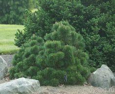 Сосна чёрная Хельга (Pinus nigra Helga) :: Мой сад