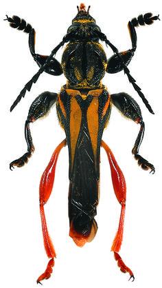 Cerambycidae (Longicornes)