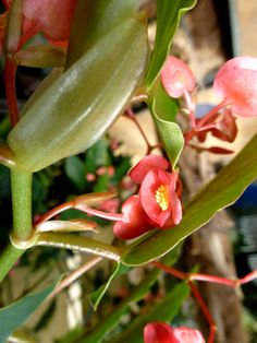 plante tropicale   Fleurs de Bégonia   Plante Tropicale