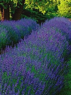 Lavandula perennials make a bright addition to any garden. Enjoy the lovely scent coming from your Lavandula plants when you shop Bluestone Perennials. Flowers Perennials, Sandy Soil, Plants, Lavender, Perennials, Tree Farms, Dry Garden, Landscape, Lavandula
