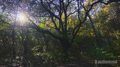 A forest tree & the Sun. (Campanet, Mallorca)