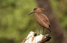 Who are you calling weird? - Hamerkop