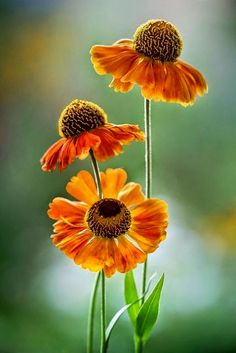 Heleniums The Beauty