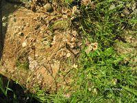 Καυκαλήθρα-Tordylium apulum How To Dry Basil, Herbs, Gardens, Outdoor Gardens, Herb, Garden, House Gardens, Medicinal Plants