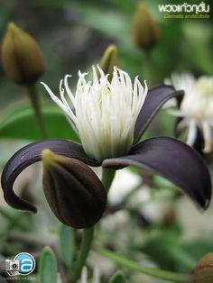 clematis smilacifolia .