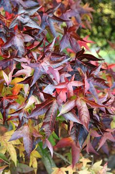 sweet gum Size Ultimate height Higher than 12 metres Ultimate spread wider than 8 metres Time to ultimate height more than 50 years Deciduous Trees, Trees And Shrubs, Rhs Chatsworth, Small Trees For Garden, Rhs Hampton Court, Sweet Gum, Plant Health, Variegated Plants, Garden Types