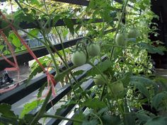 Berkebun Yuk: April 2013 Eggplant, Vegetables, Veggie Food, Vegetable Recipes, Eggplants, Veggies