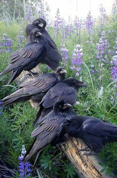 The raven is a big black bird, a member of the crow family. It is all black with a large bill, and long wings. All Birds, Love Birds, Beautiful Birds, Animals Beautiful, Cute Animals, Majestic Animals, Beautiful Men, Beautiful Pictures, The Crow