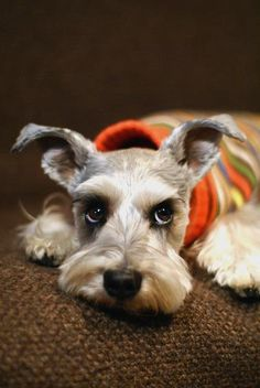 Schnauzer in a jumper, what a glorious sight.