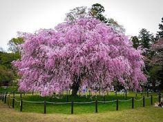 10 Pink Weeping Cherry Tree Seeds Flowering by SimplySeedsUS