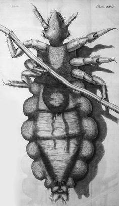 Louse_diagram,_Micrographia,_Robert_Hooke,_1667