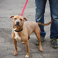 Pictures of Myra a Pit Bull Terrier for adoption in Bronx, NY who needs a loving home.
