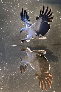 Reflection- The White-bellied Sea Eagle, also known as the White-breasted Sea Eagle, is a large diurnal bird of prey in the family Accipitridae Most Beautiful Birds, Pretty Birds, Love Birds, Nature Animals, Animals And Pets, Nature Nature, Wild Nature, Wild Animals, Mother Nature