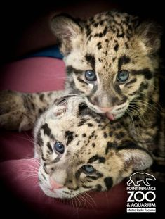 Adorable clouded leopard cubs turn 2 months old