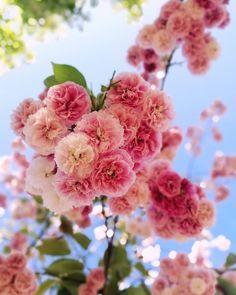 😍😍😍 Rose, Flowers, Plants, Instagram, Pink, Plant, Roses, Royal Icing Flowers, Flower