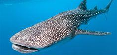 The Galapagos Whale Shark