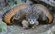 """image source The great horned owl (Bubo virginianus), also known as the tiger owl (originally derived from early naturalists' description as the """"winged tiger"""" or """"tiger of the air"""") or the hoot owl,is. Beautiful Owl, Animals Beautiful, Pretty Birds, Love Birds, Animals And Pets, Cute Animals, Owl Pictures, Amazing Pictures, Random Pictures"""