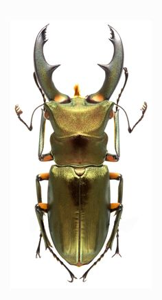Cyclommatus elephus -  a long horned beetle in the family Lucanidae.                                                                                                                                                                                 More