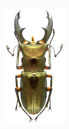 Cyclommatus elephus