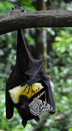 Sharing breakfast: A fruit bat and a butterfly share some pineapple.                                                                                                                                                      More