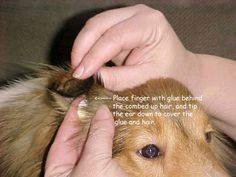 """Sheltie Ear Tipping 