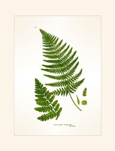 Antique Botanical Fern Print Broad by MarcadeVintagePrints on Etsy, £12.50