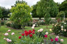 Ash Tree, Google Images, Tulips, Dolores Park, Rose, Garden, Plants, Bed, Pink